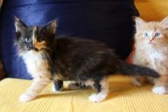 Norwegische Waldkatze Calotta mit 7 Wochen