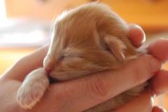 Norwegische Waldkatze Nuka mit 4 Tagen