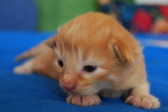 Norwegische Waldkatze Nuka mit 8 Tagen