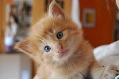 Norwegische Waldkatze Nuka mit 26 Tagen