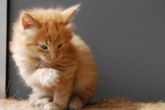 Norwegische Waldkatze Nuka mit 5 Wochen