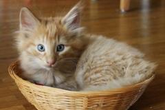 Norwegische Waldkatze Nuka mit 7 Wochen