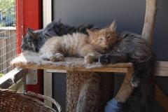 Norwegische Waldkatze Nuka mit 8 Wochen