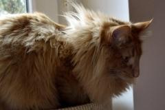 Norwegische Waldkatze Nuka mit 1 Jahr