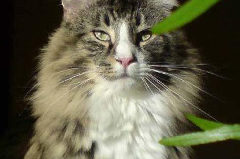 Norwegische Waldkatzen Tiere Kater