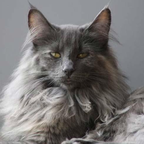 Norwegische Waldkatzen Tiere Katzen Rana