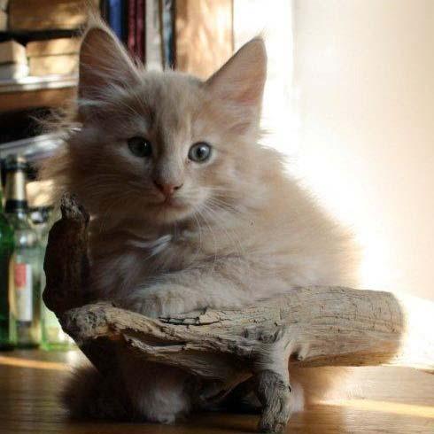 Norwegische Waldkatzen Wuerfe Billie