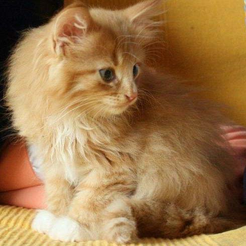 Norwegische Waldkatzen Wuerfe Charly