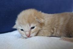 Norwegische Waldkatze Barney mit 1 Woche
