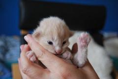 Norwegische Waldkatze Bela mit 1 Woche