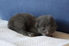 Norwegische Waldkatze Berta mit 1 Woche