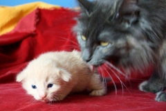 Norwegische Waldkatze Bela mit 2 Wochen