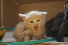Norwegische Waldkatze Bela mit 3 Wochen
