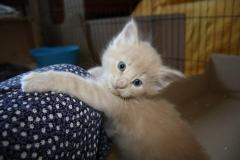 Norwegische Waldkatze Bela mit 4 Wochen