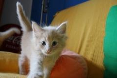 Norwegische Waldkatze Bela mit 5 Wochen