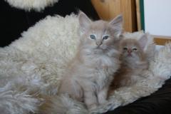 Norwegische Waldkatze Billie mit 6 Wochen