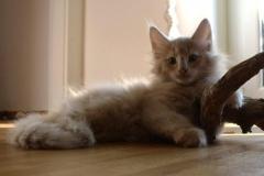 Norwegische Waldkatze Billie mit 10 Wochen