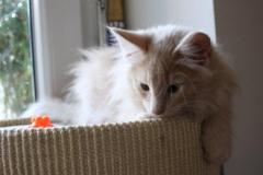 Norwegische Waldkatze Billie mit 11 Wochen