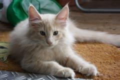 Norwegische Waldkatze Billie mit 12 Wochen