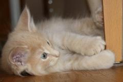 Norwegische Waldkatze Billie mit 7 Wochen