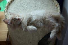Norwegische Waldkatze Billie mit 8 Wochen