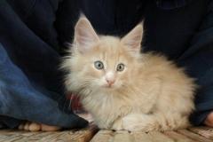 Norwegische Waldkatze Billie mit 9 Wochen