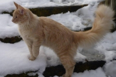 Norwegische Waldkatze Billie mit 6 Monaten