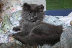 Norwegische Waldkatze Berta mit 10 Wochen