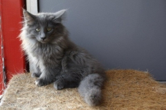 Norwegische Waldkatze Berta mit 12 Wochen