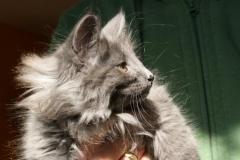Norwegische Waldkatze Berta mit 11 Wochen
