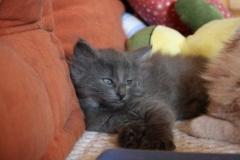 Norwegische Waldkatze Berta mit 6 Wochen