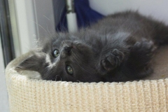 Norwegische Waldkatze Berta mit 7 Wochen
