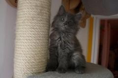 Norwegische Waldkatze Berta mit 8 Wochen