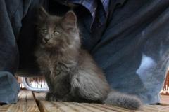 Norwegische Waldkatze Berta mit 9 Wochen