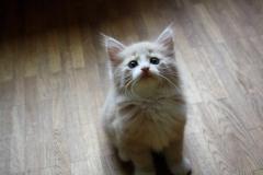 Norwegische Waldkatze Calle mit 7 Wochen