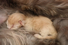 Norwegische Waldkatze Calle neugeboren