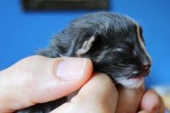 Norwegische Waldkatze Calotta neugeboren