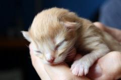 Norwegische Waldkatze Charly Chaplin neugeboren