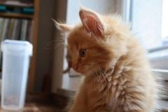 Norwegische Waldkatze Chili mit 7 Wochen