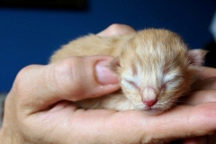 Norwegische Waldkatze Chili neugeboren
