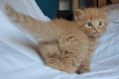Norwegische Waldkatze Chili mit 4 Wochen