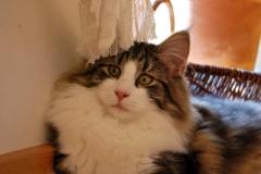 Norwegische Waldkatze Fjellbekks Ivy Mara mit 4,5 Monaten
