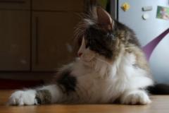 Norwegische Waldkatze Fjellbekks Ivy Mara mit 5,5 Monaten