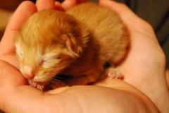 Norwegische Waldkatze Nuka mit 1 Tag