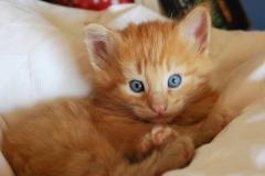Norwegische Waldkatze Nuka mit 4 Wochen