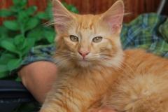 Norwegische Waldkatze Nuka mit 4 Monaten