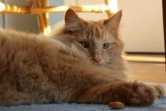 Norwegische Waldkatze Nuka mit 10 Monaten