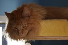 Norwegische Waldkatze Nuka mit 11 Monaten