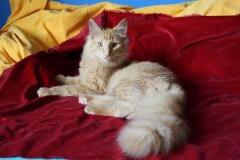 Norwegische Waldkatze Nuka mit 6 Monaten