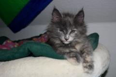 Feline 8 Wochen